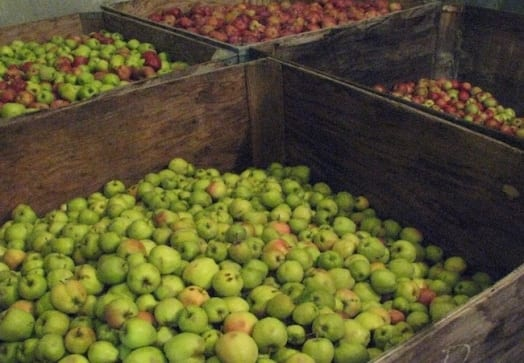 Bins of Thompson Creek Organics Apples