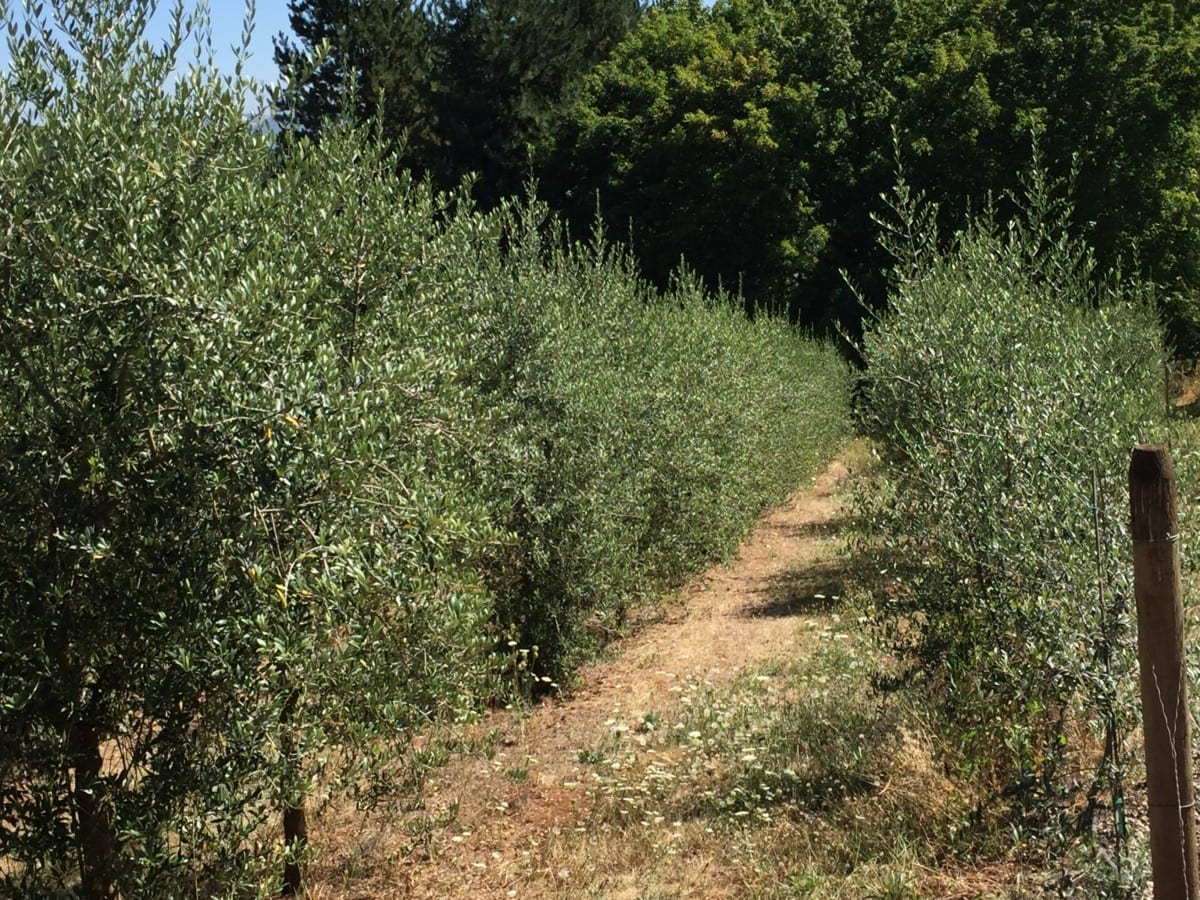 olive oil from tree to table