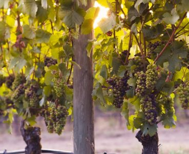 photo of grapes hanging on vines in willamette valley