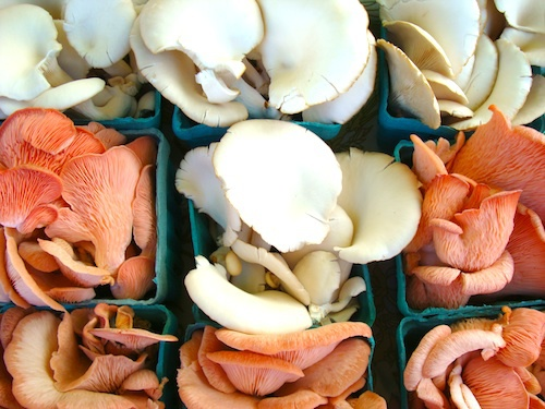 pink_and_white_oyster_mushrooms