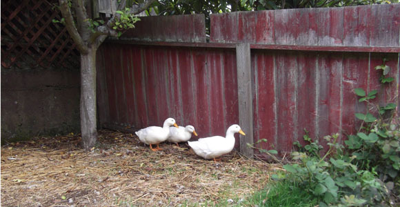 Shy_Pekin_ducks_quietly_quack_and_do_bug_patrol_sm